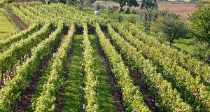 Skalica chce obnoviť vinohrady, požiada o dotáciu!