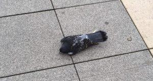V Senici na námestí hynú holuby.